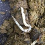 Spoelwormen MestLab klein